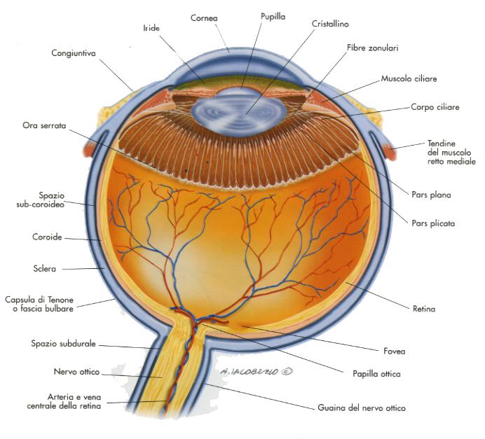 struttura occhio